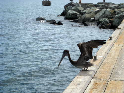 Pelican in Frederiksted